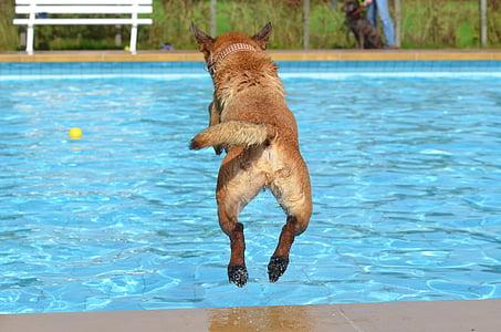 long-coated tan dog jump in pool