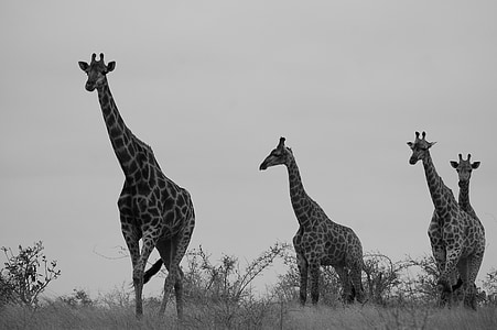 grayscale photo of four giraffe walking on grass at daytime