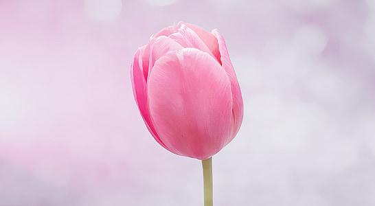 pink tulip close-up photograph
