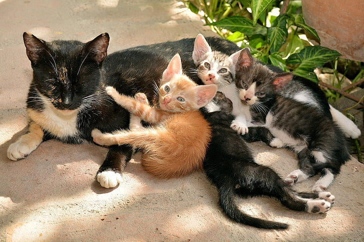 tuxedo cat with kittens
