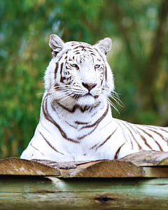 white tiger sitting on wooden panel