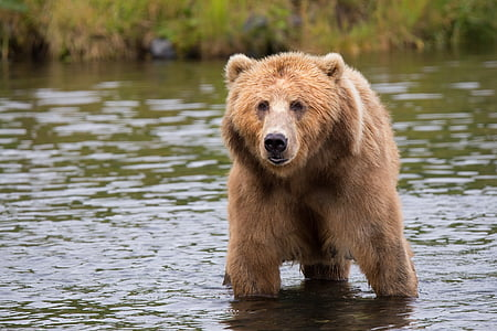 photo of brown grizzly bear