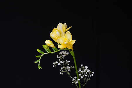 yellow freesia flower with black background