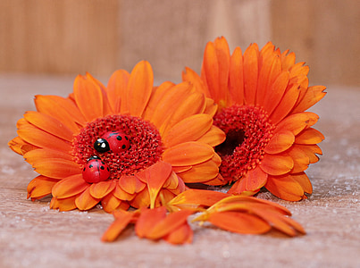 two orange Gerbera daisies on gbrown surface
