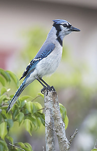 selective focus photograph of blue jay bird