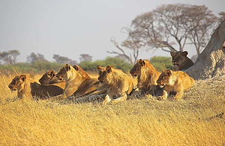 group of lion and lioness lying in the ground