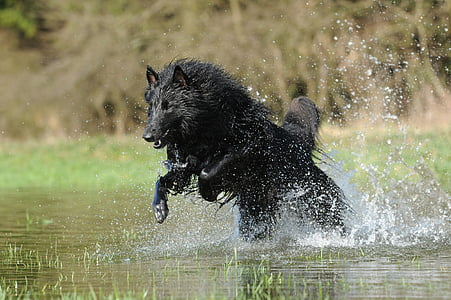 photo of black wolf running in river