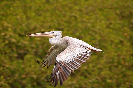 flying white beard