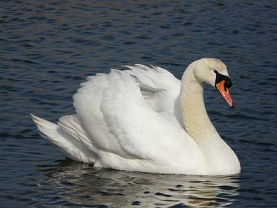 white swan on river during daytime
