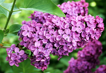 purple lilacs in bloom at daytime