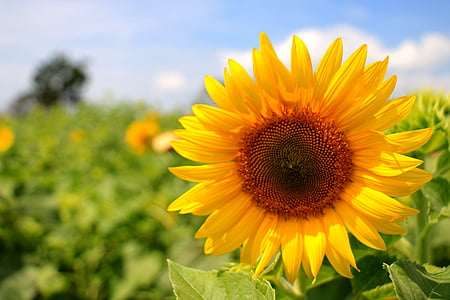 shallow photography of sunflower during daytime