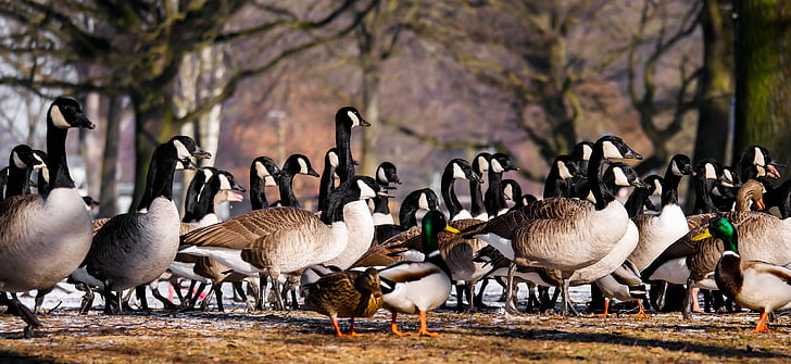 flocks of goose