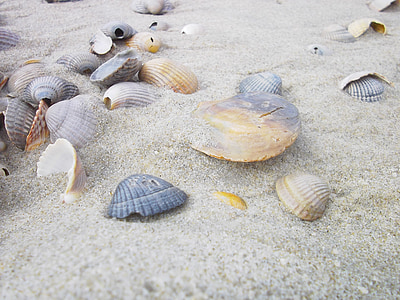 several scallop shells on sand