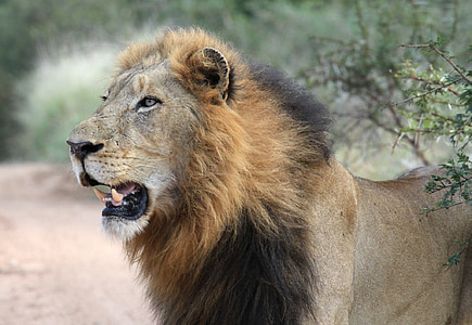 selective-focus photography of lion animal