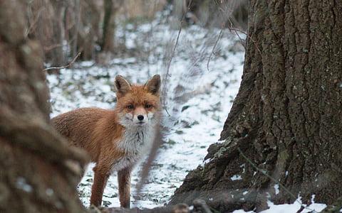 brown fox on snowfield beside the tree