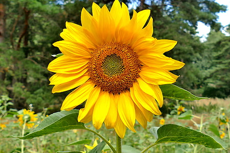 close view of sunflower