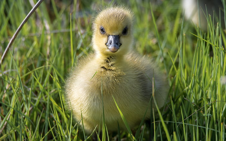 yellow duck chick on green grass field during daytime