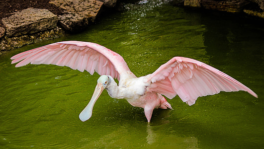 pink bird standing in body of water during daytime