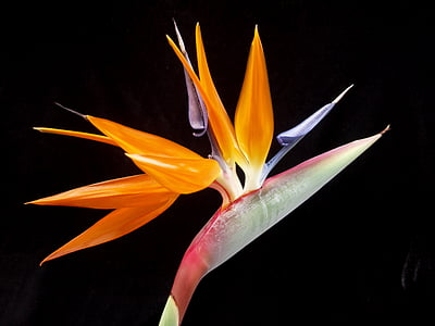orange, red and purple birds-of-paradise flower