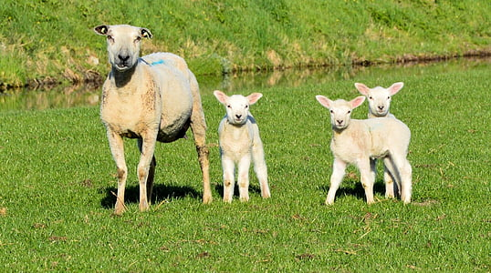 sheep and three lambs on green grass field