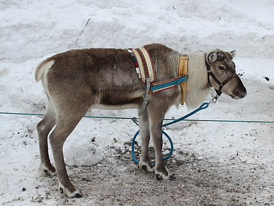 brown goat with harness on pavement