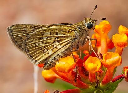 brown skipper moth on orange flowers