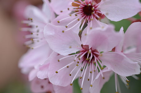 pink cherry blossom flowers in selective focus photography