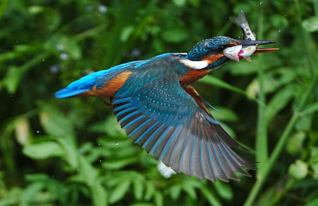 blue and orange bird with fish in shallow focus photography