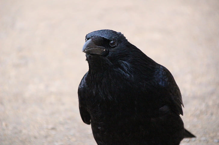 photo of black raven