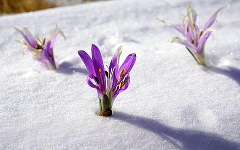 three purple flowers on snow