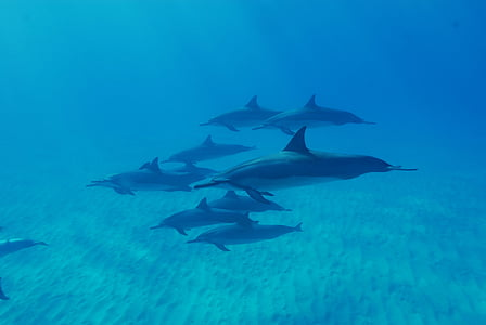 underwater photograph of blue dolphins