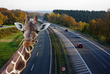 giraffe taking selfie with high way road background