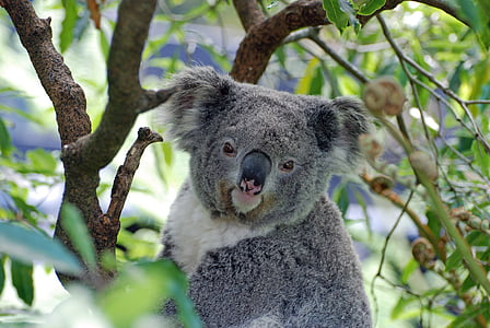 gray and white koala on brown tree branch selective focus photo