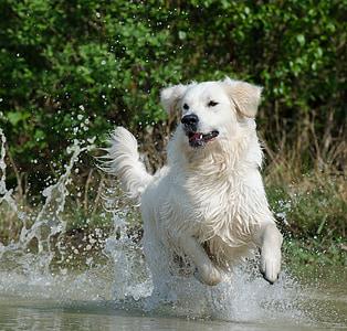 adult white Hovawart dog