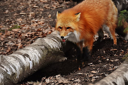 brown fox stands near tree trunk lying on ground