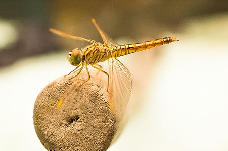 brown dragonfly on brown wooden rod