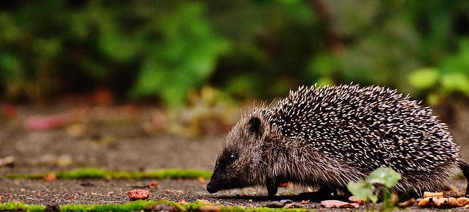 gray and black hedgehog