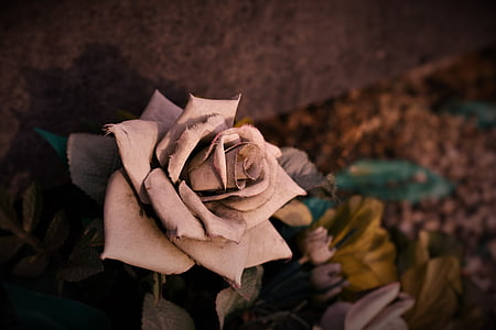 selective focus photography of dried rose flower