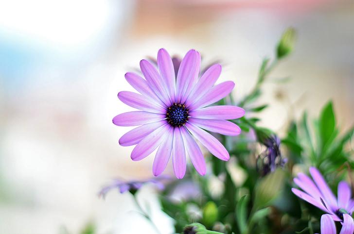 closeup photography of pink osteospermum flower