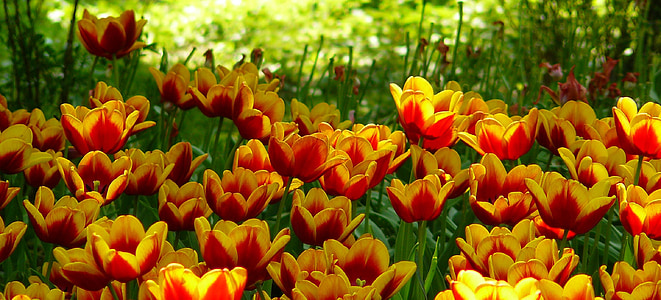 orange and yellow tulips field