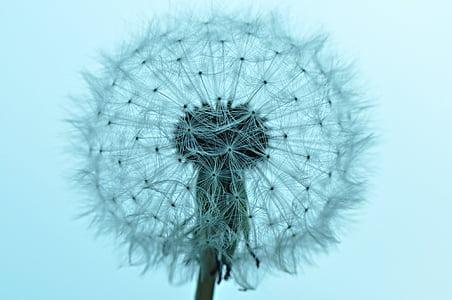 teal dandelion