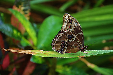 morpho butterfly perched on green leaf in closeup photography