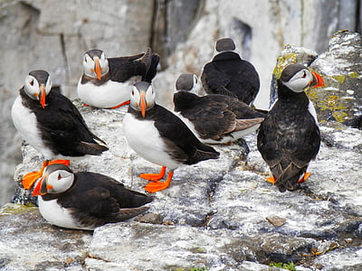 flock of puffin birds resting on rock