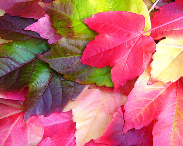 parthenocissus quinquefolia, virginia creeper, fall, autumn, colorful, leaves