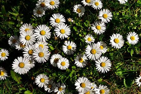 daisies during daytime