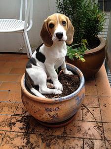 beagle in round brown pot