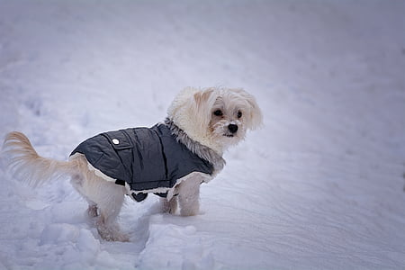 long-coated white dog with black jacket on snow covered ground