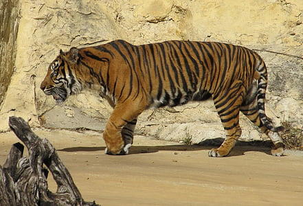 tiger walking beside grey concrete wall