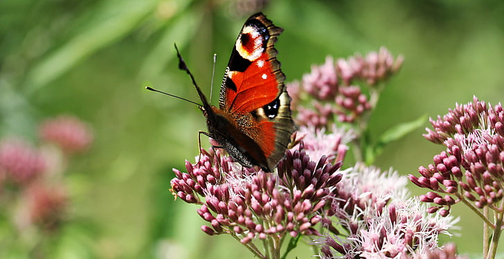 red, black, and white butterfly on flower