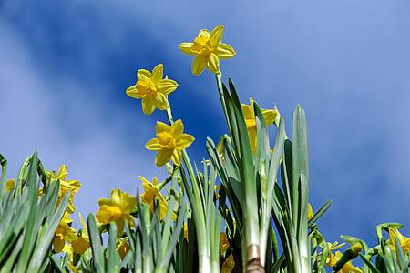 yellow daffodil flowers in closeup photo